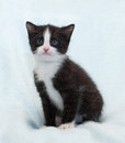 Black and white fluffy kitten with blue eyes sits and stares at background Stock Image