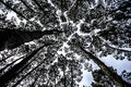 Black and white forest trees converging towards a pale sky Royalty Free Stock Photo