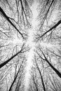 Black and white forest of trees photographed from below - the effect abstract Royalty Free Stock Photo
