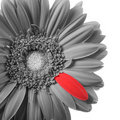Black and white gerbera with red petal Royalty Free Stock Photo