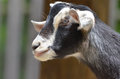 Black and white goat a close up of a looking to his right Royalty Free Stock Images