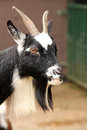 Black and white goat head of a at zoo Stock Photography