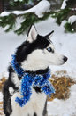 Black and white husky with blue tinsel