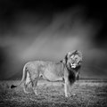 Black and white image of a lion Royalty Free Stock Photo