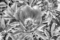 Black and white image of peony Stock Photos