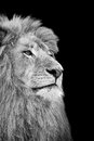 Black and white isolated lion face card Stock Photos