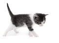 Black white kitten Stock Images