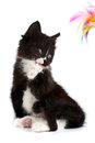 Black-and-white kitten Royalty Free Stock Photo