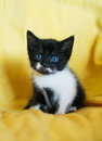 Black and white kitten with blue eyes Stock Photography