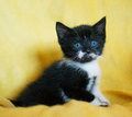 Black and white kitten with blue eyes on a yellow background Stock Photography