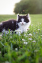 Black and white kitten Royalty Free Stock Photo