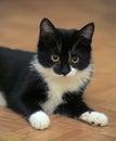 Black and white kitten lying