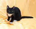 Black and white kitten teenager with yellow eyes warily looking to the side on the golden fabric background Royalty Free Stock Photo