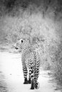 Black and white leopard in close to kruger south afica Royalty Free Stock Image