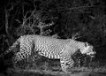 Black and white leopard hunting at night Royalty Free Stock Photo