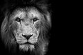 Black and White Lion Royalty Free Stock Photo