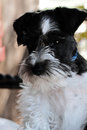 Black and white miniature schnauzer parti colored mini extreme shallow depth of field with selective focus on puppies face Royalty Free Stock Photos