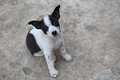 Black and white mixed breed puppy Stock Photos