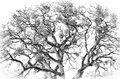 Black and white of a Oak Tree Royalty Free Stock Photo