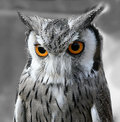 Black and white owl Royalty Free Stock Image