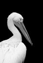 Black and white pelican closeup isolated on background Royalty Free Stock Photo