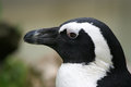 Black and white penguin the large image of the person of a in a profile Royalty Free Stock Image