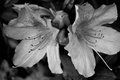 Black and white photo of azalea blossoms Royalty Free Stock Photo