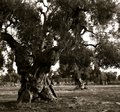Old olive trees at a plantation in the Italian Apulia Royalty Free Stock Photo