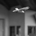 Black white photo flying pigeon Royalty Free Stock Images