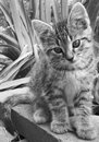 Black and white photo of a kitten close up portrait in garden Royalty Free Stock Photo