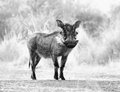 Black and white picture of alert warthog large male Royalty Free Stock Photo