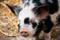 Black and white a pig Royalty Free Stock Image
