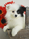 Black and White Pom Puppy Stock Photos