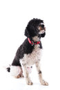 Black and white poodle harlekino isolated over background Royalty Free Stock Photography