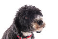 Black and white poodle harlekino isolated over background Royalty Free Stock Photos