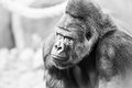 Black and White Portrait of Gorilla Royalty Free Stock Photo