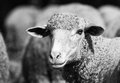 Black and white portrait of a sheep Stock Photo