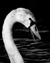 Black and white portrait of wet large cygnet yearling swan shown in side view against dark water with showering droplets at river Stock Photo