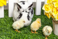Black and white rabbit with small chicken in the garden. Royalty Free Stock Photo