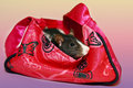 Black and white rat in purse Stock Image