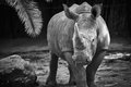 Black and white rhino in the sabana Royalty Free Stock Photos