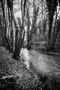 Black and white river a gloomy torrent flowin in a forest between bare trees Stock Photo