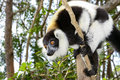 Black-and-white ruffed lemur Stock Photo
