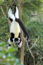 Black and white ruffed lemur the hanging on to the tree Stock Photos