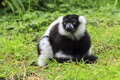 A Black-and-White Ruffed Lemur Royalty Free Stock Photo