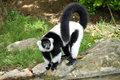 Black and white ruffed lemur the is the more endangered of the two species of lemurs both of which are endemic to the Royalty Free Stock Photography