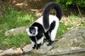 Black and white ruffed lemur Royalty Free Stock Photo