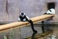 Black-and-white ruffed lemur Varecia variegata Royalty Free Stock Photo