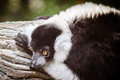 Black and white ruffed lemur varecia variegata portrait of Stock Image