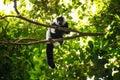 Black-and-white ruffed lemur & x28;Varecia variegata& x29;, Madagascar Royalty Free Stock Photo